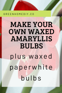 Pinterest graphic: Make your own waxed amaryllis bulbs plus waxed paperwhites