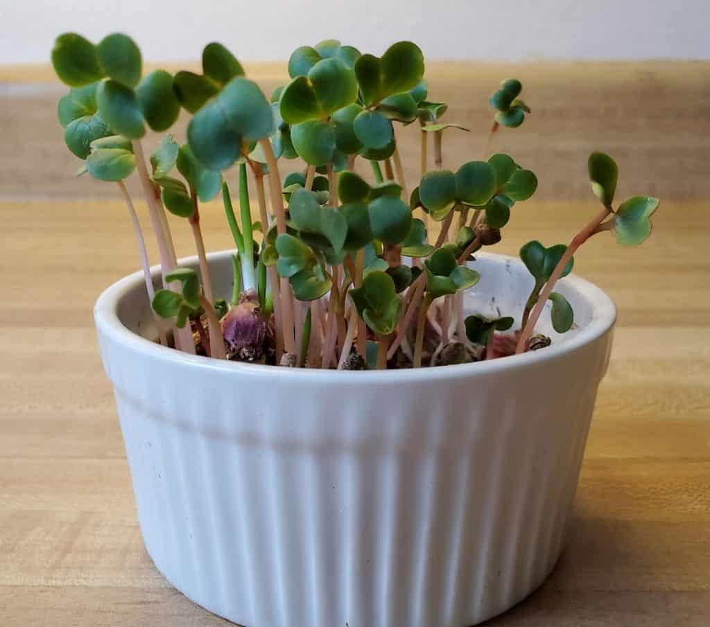 Seed soup microgreens