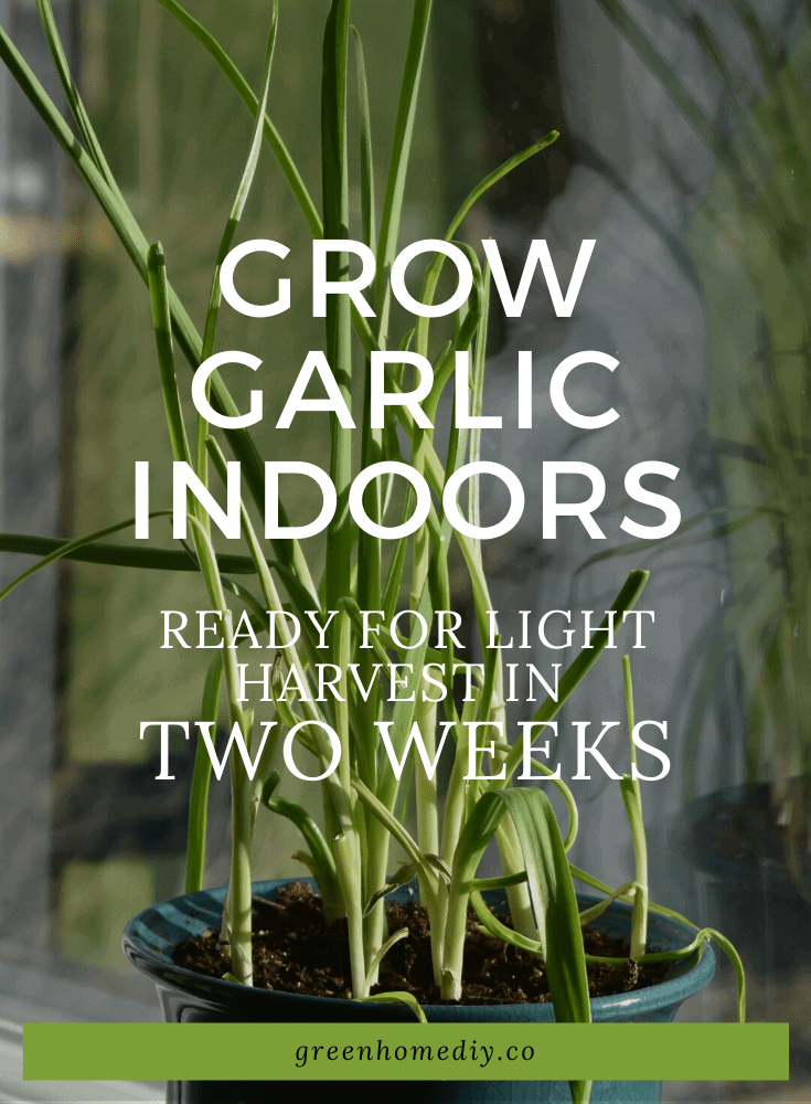 Grow garlic indoors: Ready for light harvest after two weeks