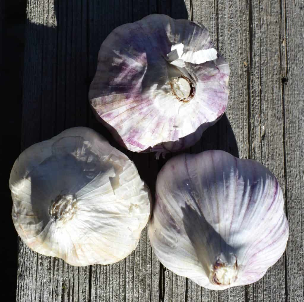 garlic heads ready to plant