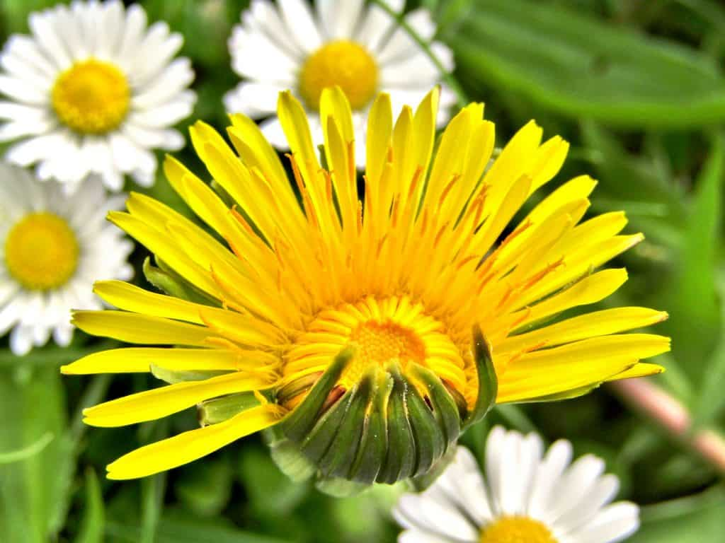 Dandelion flower and daisies