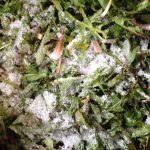 Dandelions preserved in salt from Everlong Gardener