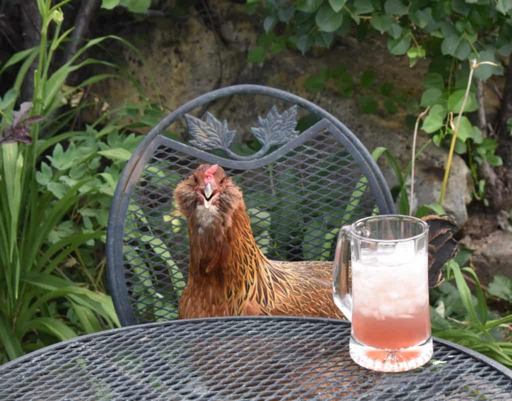 Chicken and drink in the garden. Simple living life relaxation.