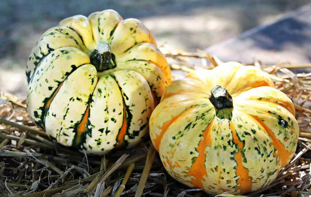 Fall decorative squash