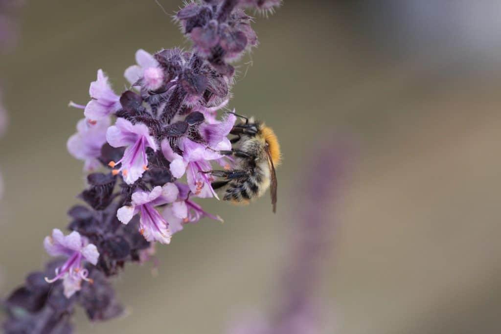 bee on basil flower