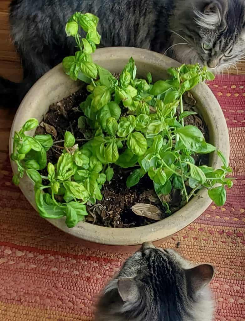 grow basil indoors: basil pot after two weeks